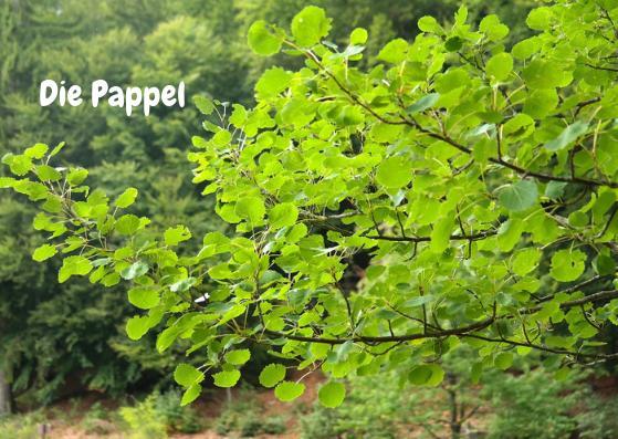 Die silbrig glänzenden Blätter der Pappel haben eine ganz besondere Eigenschaft. Wenn sie sich im Wind bewegen, wirkt es, als würden sie winken. Übertrage ich dieses Winken auf Dich, sagt es auch, dass Du von Deiner Grundstruktur her ein frohsinniger Mensch bist. Du bist vielseitig interessiert, offen, spontan und begeisterungsfähig.